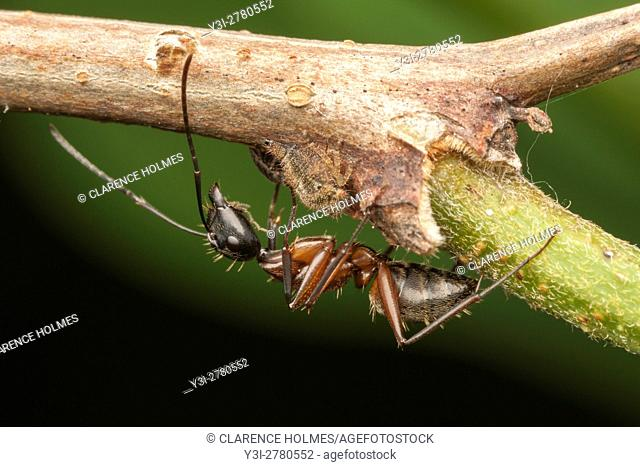 A Ferruginous Carpenter Ant (Camponotus chromaiodes) tends a treehopper nymph for its honeydew