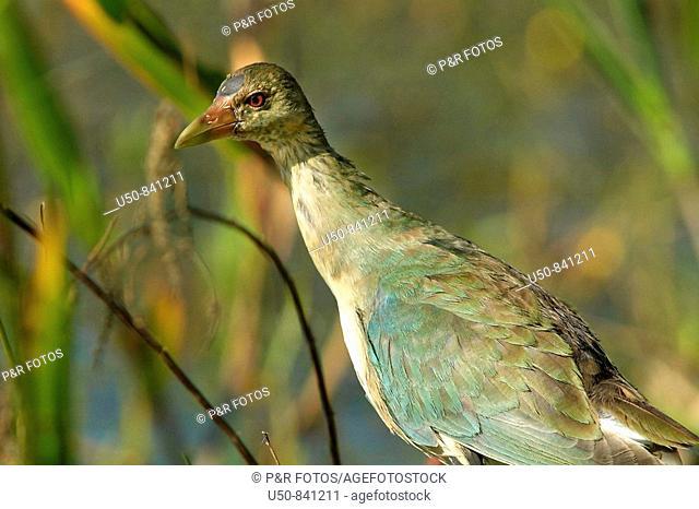 Young American purple gallinule, Yellow-legged Gallinule, Porphyrio martinica: Rallidae, Brazilian Amazon