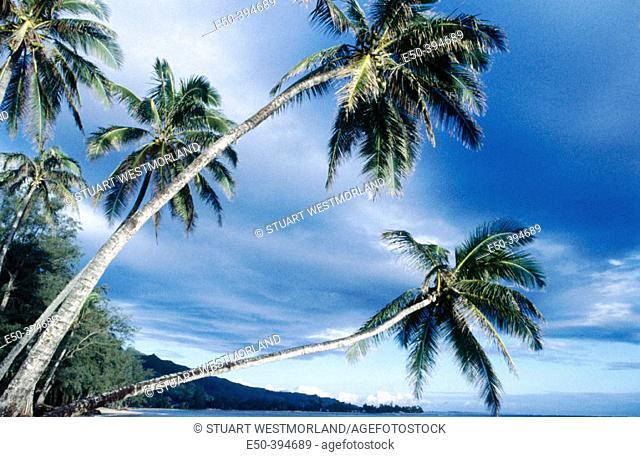 Overhanging palm tree near Panaluu State Park. Oahu. Hawaii. USA