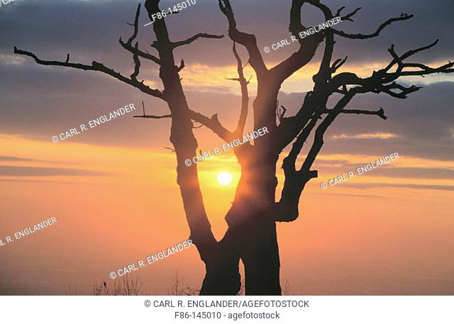 Sunrise with dead tree from Thorofare Mountain Overlook in Shenandoah National Park, Virginia, USA