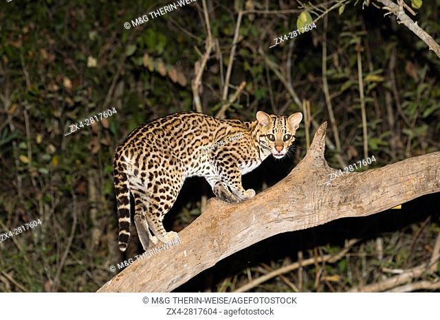 Ocelot (Leopardus pardalis) at night, Pantanal, Mato Grosso, Brazil