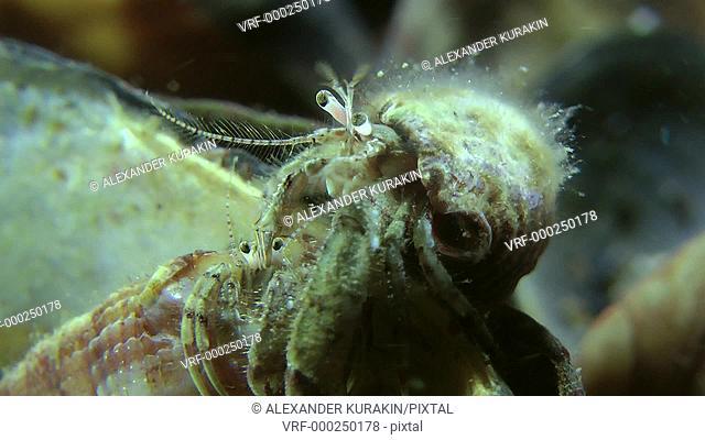 Male and female of Small hermit crab (Diogenes pugilator), medium shot. Black Sea. Ukraine