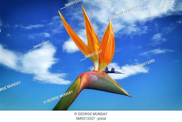 Bird of Paradise flower or Strelitzia reginae. . Costa del Sol, Malaga Province,. Andalucia, Spain