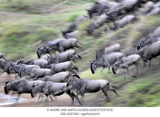 Herd of Blue Wildebeest (Connochaetes taurinus) running down riverbank for crossing the Mara River with motion blur, Serengeti national park, Tanzania