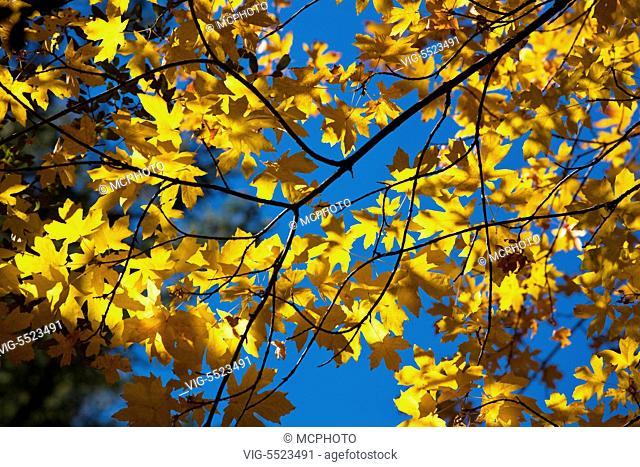 MAPLE TREES turn yellow in autumn in YOSEMITE VALLEY - YOSEMITE NATIONAL PARK, CALIFORNIA - Yosemite,USA, 01/01/2016