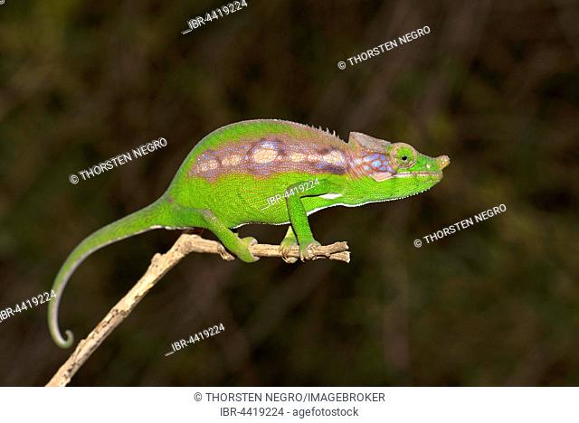 Antimena chameleon (Furcifer antimena), female, Madagascar spiny forests, south-west Madagascar, Madagascar