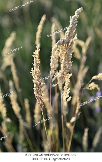 graminees dans une prairie sauvage, region Centre-Val-de-Loire, France, Europe/herbaceous plants in wild grassland, Centre-Val-de-Loire region, France, Europe
