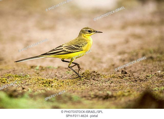 Yellow wagtail (Motacilla flava). Yellow wagtails are insectivorous, preferring to live in open country where it is easy to spot and pursue their prey