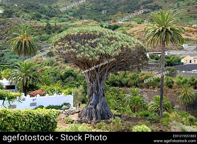 1000 jaehriger Drachenbaum von Icod de los Vinos auf Teneriffa