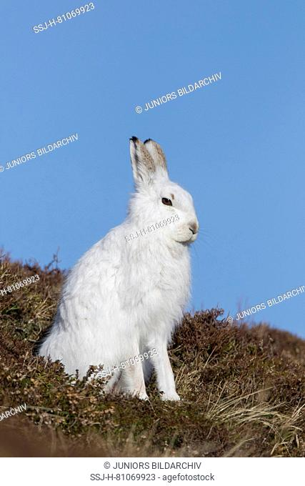 Mountain Hare (Lepus timidus). Adult in white winter coat (pelage) in heather. Cairngorms National Park, Scotland