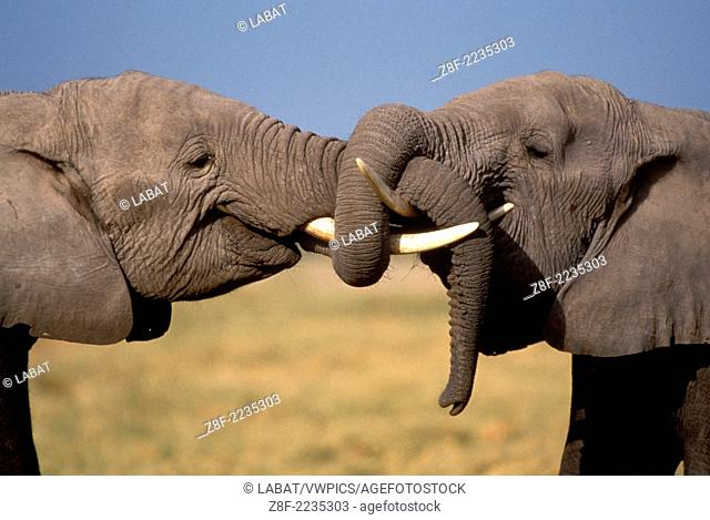 African Elephant, Loxodonta Africana, Kenya