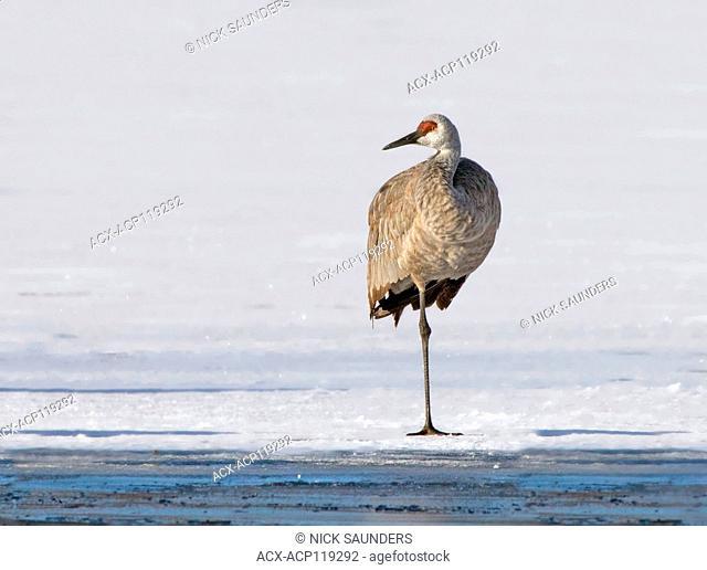 A Sandhill Crane, Grus canadensis, standing on Wascana Lake in winter, in Regina Saskatchewan