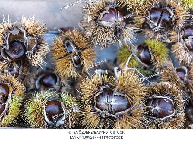 Fresh chestnut (Castanea sativa) in shells for sale