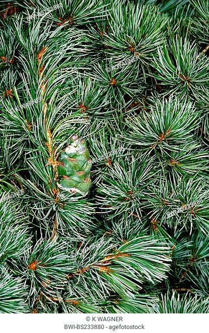 Japanese white pine Pinus parviflora, branch with cone
