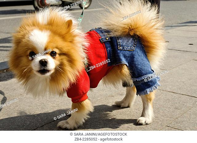 Pekinese dog with jeans, Nanjing Road, Huangpu District, Shanghai, China, Asia