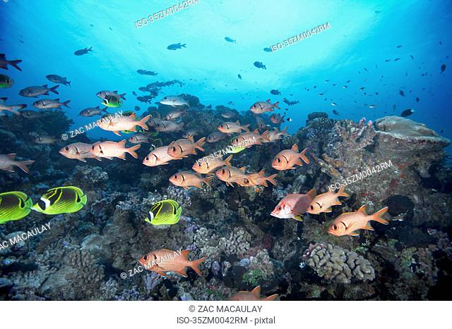 School of squirrelfish swimming in coral