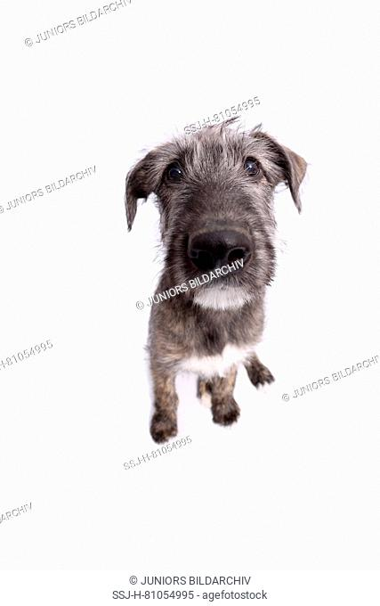 Irish Wolfhound. Puppy (9 weeks old) sitting, fisheye. Studio picture against a white background. Germany
