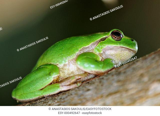 Common Treefrog (Hyla arborea kretensis) is quite common on Crete
