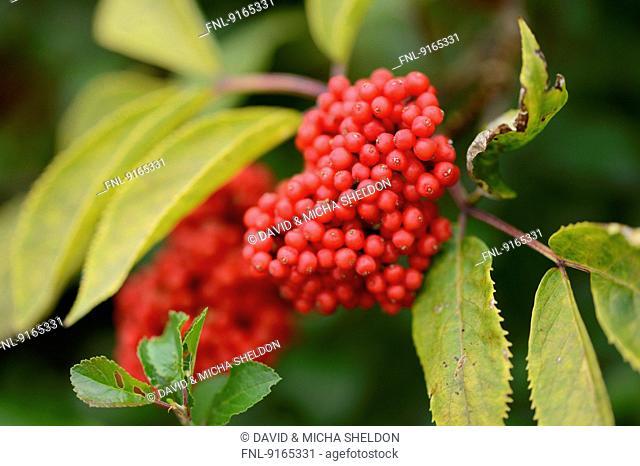 Red Elderberries on twig