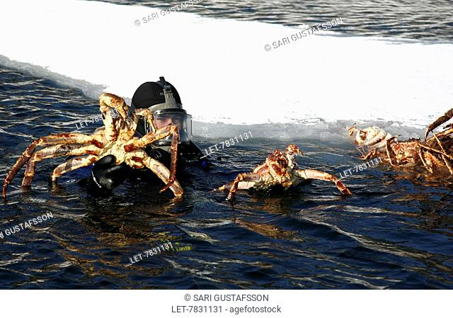 The red king crab paralithodes camtschaticus is caught in the Barents sea in safaris for turists in Lapland. The diver shows his catch