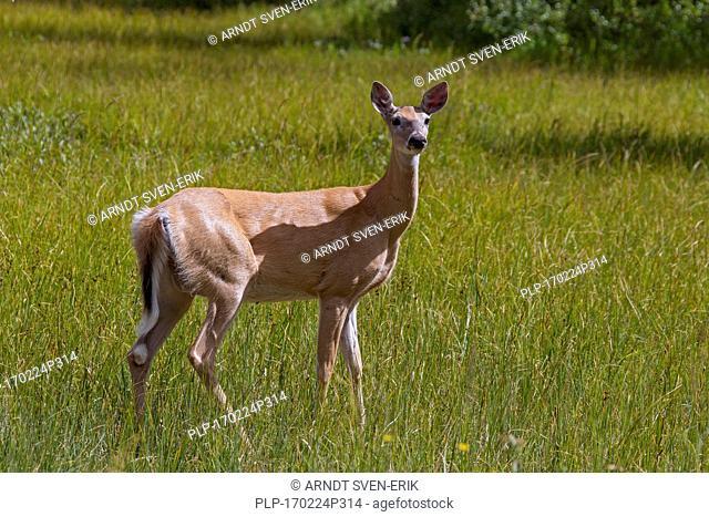 Whitetail deer / white-tailed deer (Odocoileus virginianus) female / doe at lake shore, Canada