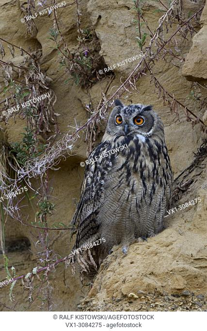 Eurasian Eagle Owl ( Bubo bubo ), young bird, resting in a sand cliff, watching attentively, bright orange eyes, nice colours, wildlife, Europe