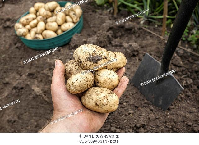 Mature man holding potatoes harvested from garden