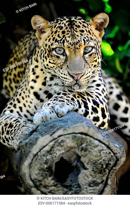 A close up shot of an African Leopard