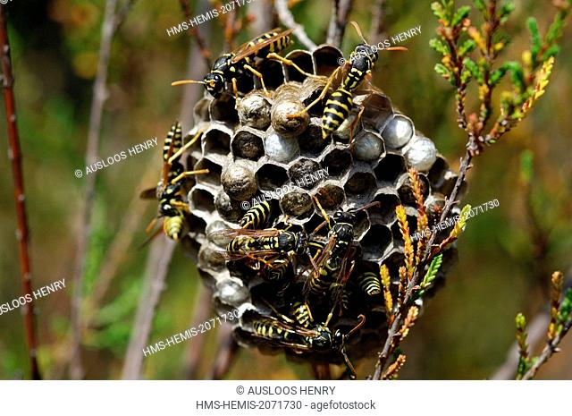 Polistes wasps (Polistes gallicus) in the nest