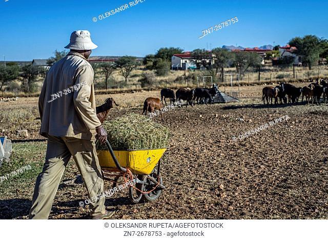 Feeding goats in the Neudamm farm, Namibia