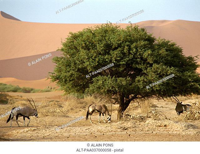 Africa, Namibia, gemsboks grazing