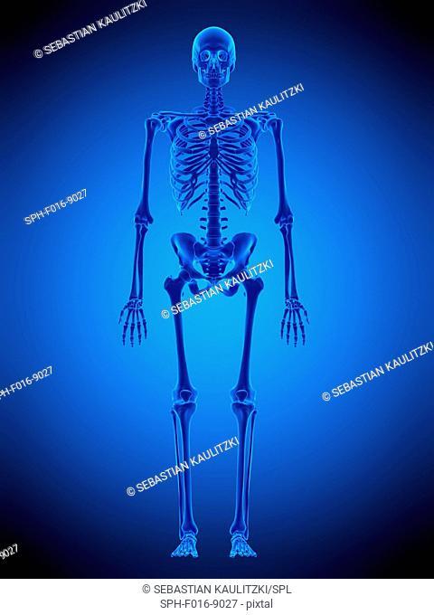 Illustration of the human skeleton