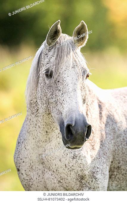 Arab Horse. Portrait a fleabitten gray mare. Austria