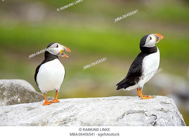 Atlantic Puffin, Fratercula arctica, Two Birds, Europe