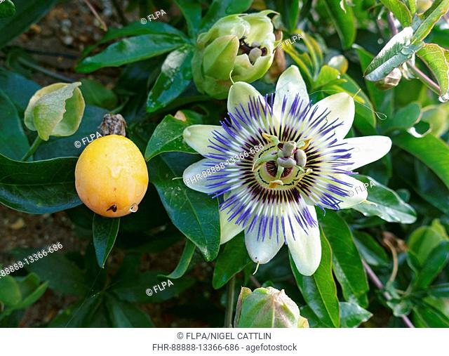 Fruit and flower of an ornamental blue passion flower, Passiflora caerulea, with buds and leaves on climbing vine, September