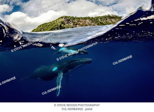 Humpback whale (Megaptera novaeangliae) and calf in the waters of Tonga