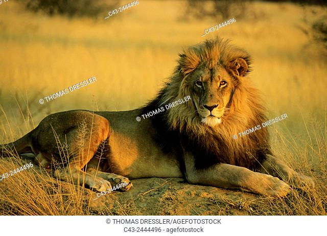 Lion (Panthera leo) - Male, resting on a termite-hill in the last light of the evening. Photographed in captivity at the Okonjima Lodge