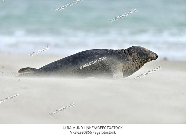 Grey Seal, Halichoerus grypus, Male on the Beach with waving Sand, Helgoland, Dune, North Sea, Island, Schleswig-Holstein, Germany