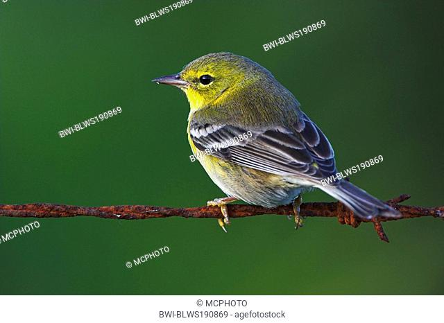 pine warbler Dendroica pinus, sitting on barbed wire, USA, Florida