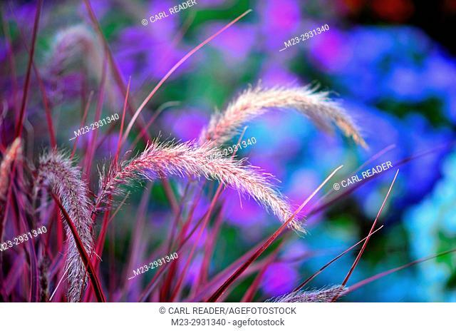 Purple ornamental grass in soft-focus, Pennsylvania,USA
