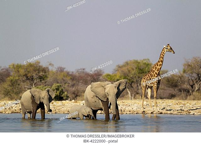 African elephant (Loxodonta africana) cow with two calves at waterhole, male South African giraffe (Giraffa camelopardalis giraffa) behind