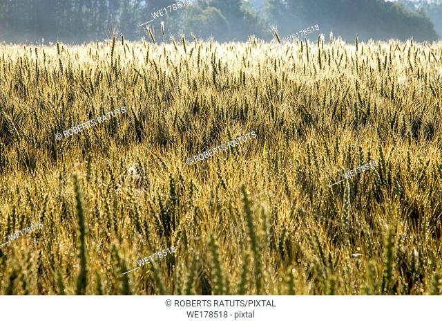 Background created with a close up of a cereal field in Latvia. Growing a natural product. Cereal is a grain used for food, for example wheat, maize, or rye