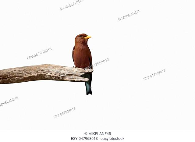 Broad-billed roller, Eurystomus glaucurus, single bird on branch, Gambia, February 2016