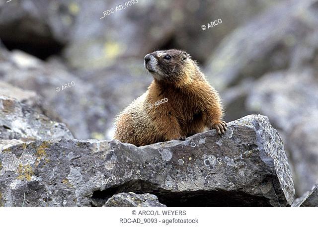 Yellow-bellied Marmot Yellowstone national park Wyoming USA Marmota caligata