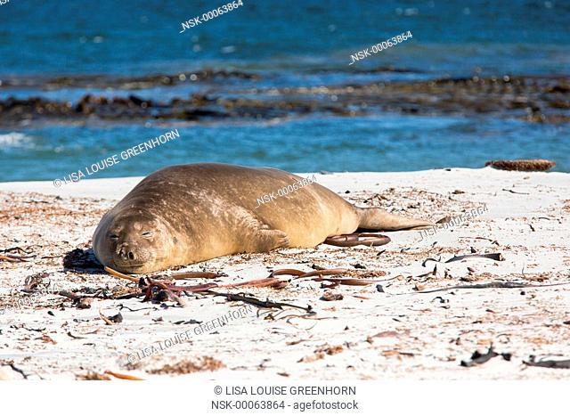 Elephant Seal (Mirounga leonina) adult moulting on beach after breeding season, Falkland Islands, Sea Lion Island
