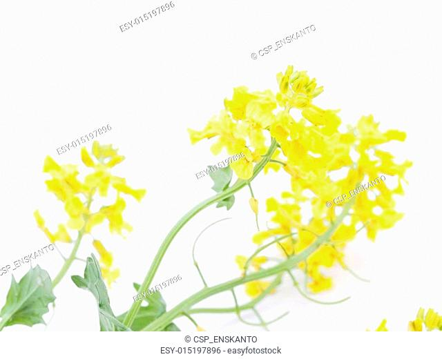 winter cress on white background