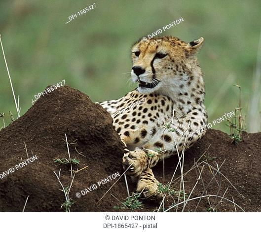 Cheetah reclining on termite mound, Africa