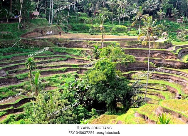 Tegalalang rice terraces in Ubud, Bali. Tegalalang Rice Terrace is one of the famous tourist objects