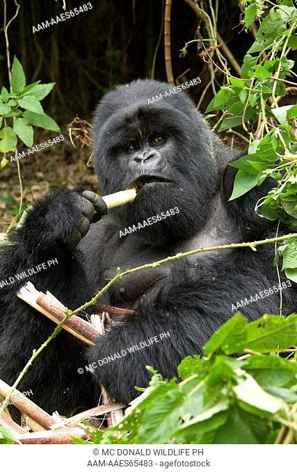 Mountain Gorillas (Gorilla beringei beringei) in the Volcanoes NP, Rwanda, Hirwa Silverback eating bamboo in day nest