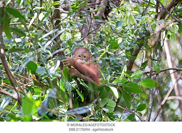 Asia,Malaysia,Borneo,Sabah,Sandakan,Sepilok Orang Utan Rehabilitation Center,Northeast Bornean orangutan (Pongo pygmaeus morio),young with his nest int he tree